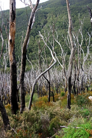 Fire Ravaged Forests